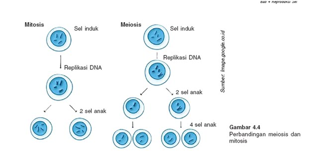 Mitosis dengan meiosis tian trichogaster mitosis dengan meiosis ccuart Image collections